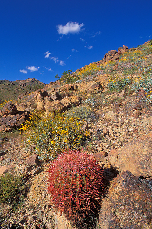 Brittlebush (Encelia farinosa), and Barrel Cactus (Ferocactus cylindraceus) in the Cottonwood Mountains, Joshua Tree National Park, California