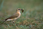 Isabelline Wheatear (Oenanthe isabellina) with insect prey near Amarbayasgalant, Mongolia