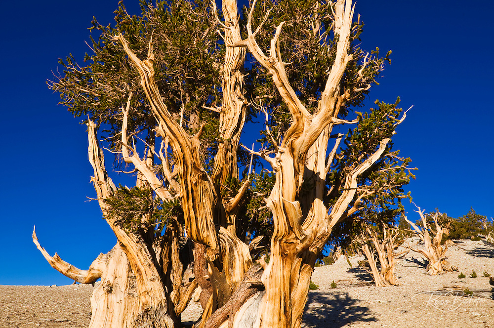 Ancient Bristlecone Pines (Pinus longaeva) in the Patriarch Grove, Ancient Bristlecone Pine Forest, White Mountains, California