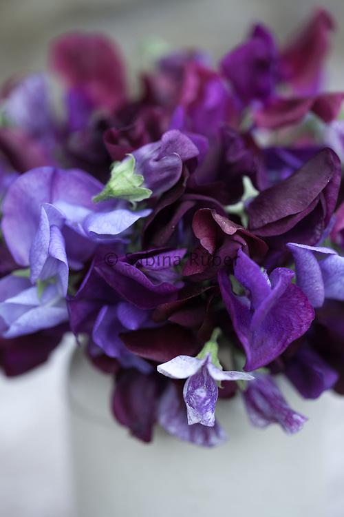 Lathyrus odoratus 'Chiltern Seeds Twilight Mixed' - sweet peas