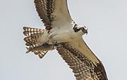Osprey with Whitey en route to nest.