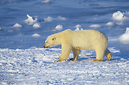 01874-07210 Polar Bear (Ursus maritimus) on the ice of Hudson Bay  Churchill MB