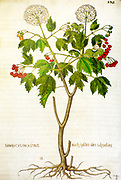 Hand drawn ancient Botanical illustration of a Viburnum opulus (common name: guelder rose) published c 1550