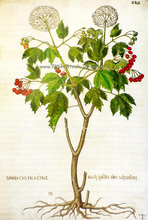 Hand drawn ancient Botanical illustration of a Viburnum opulus (common name: guelder rose) published c 1550
