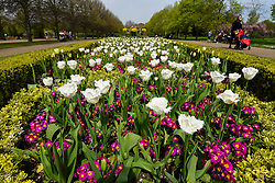 © Licensed to London News Pictures. 18/04/2019. LONDON, UK.  People enjoy the tulip display which is in full bloom in Regent's Park.  The forecast is for increasingly warmer weather for the Easter weekend.  Photo credit: Stephen Chung/LNP