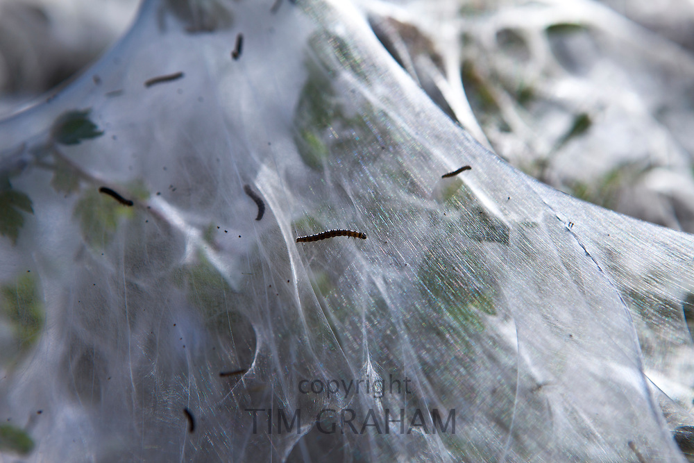 Larvae stage of Tent Moth, Eastern Tent Caterpillars, make tent of silk on host hedgerow in County Cork, Ireland