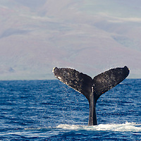 Humpback Whale, Megaptera novaeangliae, Tail Wave 4 of 8, Maui Hawaii