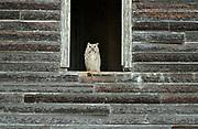 Great horned owl (Bubo virginianus) ledge of an old abandonned farm house<br />Bents<br />Saskatchewan<br />Canada