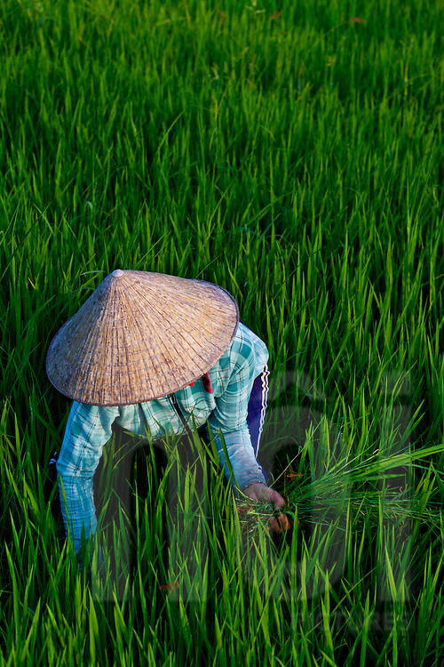 a woman harvests rice in a green field in the area of Hoi An, central Vietnam, Asia