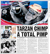 New York Post, 30th June 2008 Page 15..EXCLUSIVE 24th June 2008, Palm Springs, California. 76-year-old Cheeta, star of many Hollywood Tarzan films of the 1930s and 1940s, is coming out of retirement. Recognized as the oldest chimpanzee alive, the Palm Springs resident has just signed a record deal. To celebrate the signing, Cheeta made a promo music video to accompany his cover of the 1975 hit song 'Convoy'. PHOTO © JOHN CHAPPLE / www.johnchapple.com<br /> tel: +1-310-570-9100