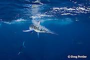striped marlin, Kajikia audax (formerly Tetrapturus audax ), slashes with bill at sardines or pilchards, Sardinops sagax, off Baja California, Mexico ( Eastern Pacific Ocean )
