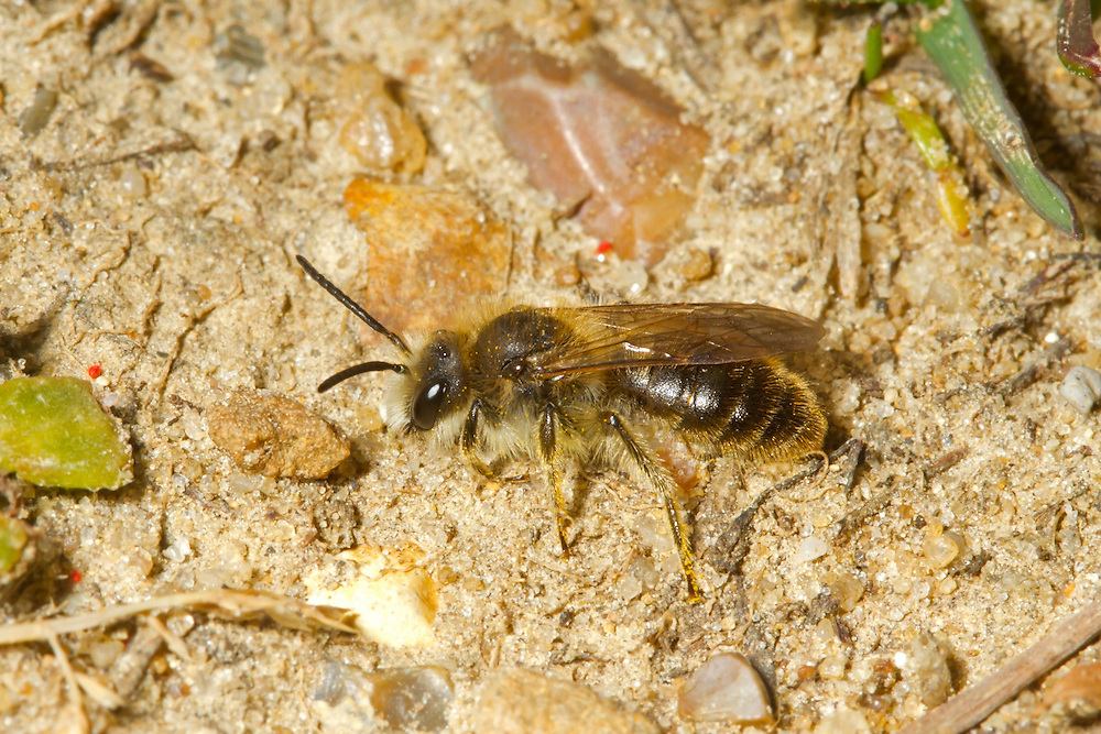 Catsear Mining-bee - Andrena humilis -  male