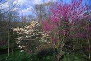 Spring flora, redbud, Hickory Run State Park, PA Northeast, PA Landscape,