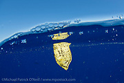 A young Atlantic Tripletail, Lobotes surinamensis, drifts like a leaf on the surface of the Gulf Stream Current offshore Jupiter, Florida, United States.