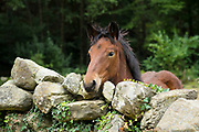 Bay horse in field looking over dry stone wall in Cantabria region of Spain