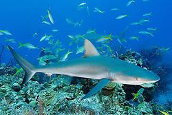 Caribbean reef sharks, Carcharhinus perezi, and yellowtail snappers, Ocyurus chrysurus, West End, Bahamas, Atlantic Ocean
