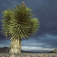 A joshua tree grows in the Inyo Mountains at the northern end of California's Mojave Desert.