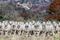 Angora goats in a row, and fall color, Block Creek Natural Area, Hill Country region, Texas, USA