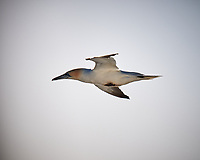 Northern Gannet. Viewed from the deck of the MV World Odyssey. Image taken with a Fuji X-T1 camera and 55-200 mm OIS lens
