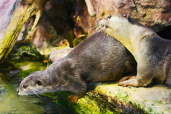 a pair of smooth-coated otters, Indian smooth-coated otters or smooth otters, Lutrogale perspicillata (formerly known as Lutra perspicillata), threatened species, mate for life, captive