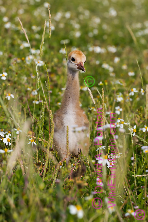 Sandhill crane downy chick is barely taller than grass and flowers in wetland meadow, Florida, © David A. Ponton