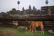 Horse grazez at sunset at Angkor Wat. This jewel in the crown of Angkor's ancient temples is a vision of beauty, might and Khmer architectural excellence. The five towers dominate the view, which you are led to trough outer walls, along causeways over the moat and past the two giant pools which act as a mirror of the vision. Consecrated at around 1150 to the Hindu god, Vishnu it is suggested that construction took 30 years.