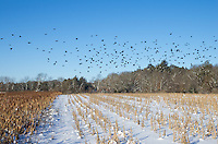 I was able to catch these starlings taking flight early one morning in Sand Ridge State Forest.<br />