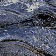 American Alligator (Alligator mississippiensis) in Florida; close up of an eye. Captive Animal