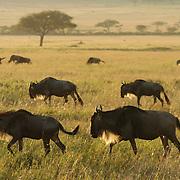 Wildebeest (Connochaetes taurinus) during migration in Serengeti National Park, Tanzania. Africa.