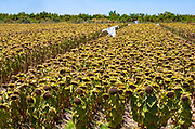 Scarecrows in the Sunflower Fields