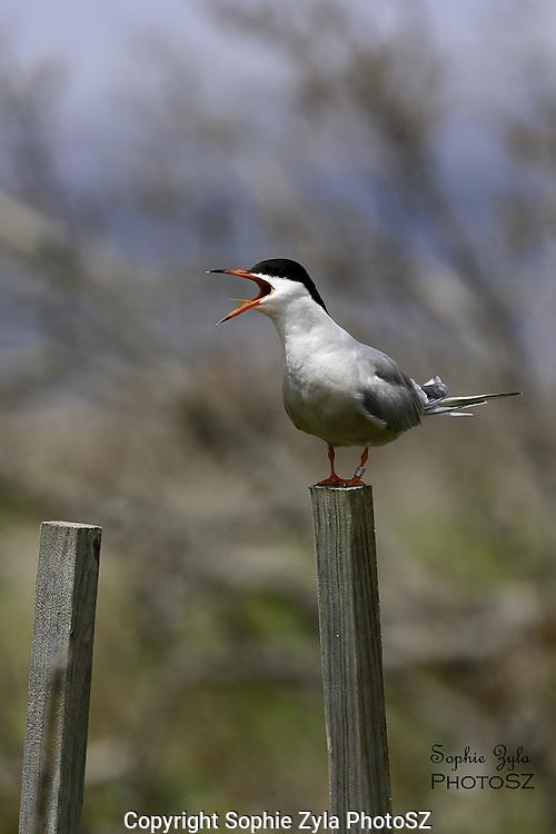 Common Tern Alarm Calling
