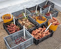 Crates of harvested sweet potatoes