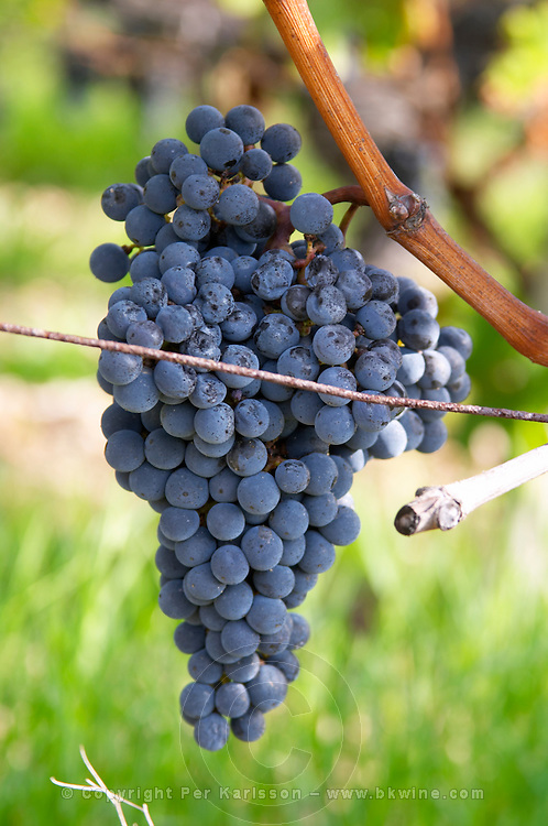 Bunches of ripe grapes. Cabernet Sauvignon. Chateau Reignac, Bordeaux, France