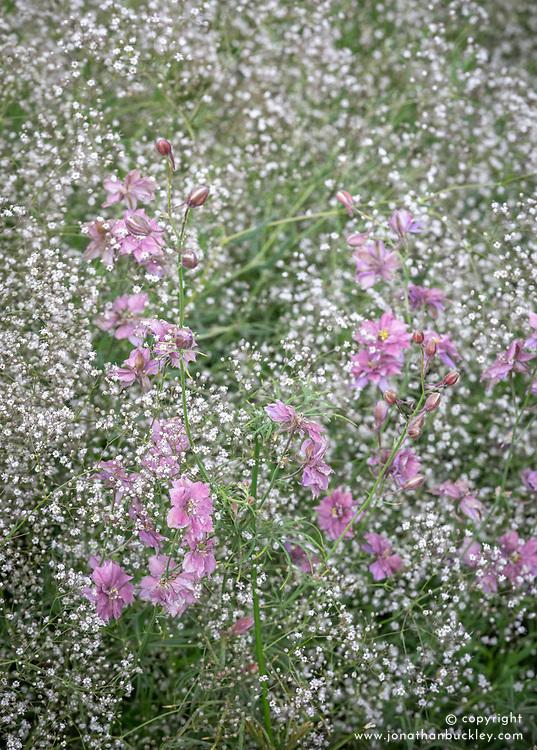Consolida ajacis 'Earl Grey' now 'Misty Lavender' - Rocket larkspur - with Gypsophila 'White Single'