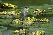 Immature Green Backed Heron, Butorides striatus, or Striated Heron, Little Heron, on pond, Peru. .South America....