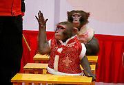 HANGZHOU, CHINA - JANUARY 28£∫ (CHINA OUT) <br /> <br /> Monkeys sit by the desks during the monkeys gala at Crazy Appleland Theme Park on January 28, 2016 in Hangzhou, Zhejiang Province of China. Hangzhou Song Dynasty Town held a monkeys gala including performances themed with human social issues at Crazy Appleland Theme Park on Thursday.<br /> ©Exclusivepix Media