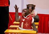 Monkeys Gala For Year Of Monkey