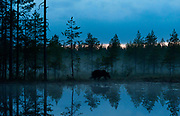 Brown bear in the evening forest.  Eastern Finland in August 2015.