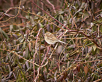 Field Sparrow on a vine. Image taken with a Nikon D2xs camera and 80-400 mm VR lens (ISO 400, 400 mm, f/5.6, 1/500 sec).