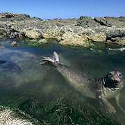 Northern Elephant Seal, (Mirounga angustirostris) Group of seals in tide. Baja, Mexico.