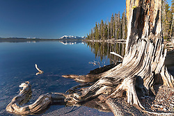 Sometimes trees look cooler in death than they do when alive.   The character a decomposing tree often fascinates me.  This one died on the shore of Yellowstone Lake and today lives on as a framing element for Mount Sheridan beyond.
