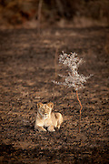 A lion sits in the landscape of the Chyulu Hills, after a controlled slash and burn, in Kenya