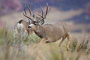 Trophy mule deer buck running