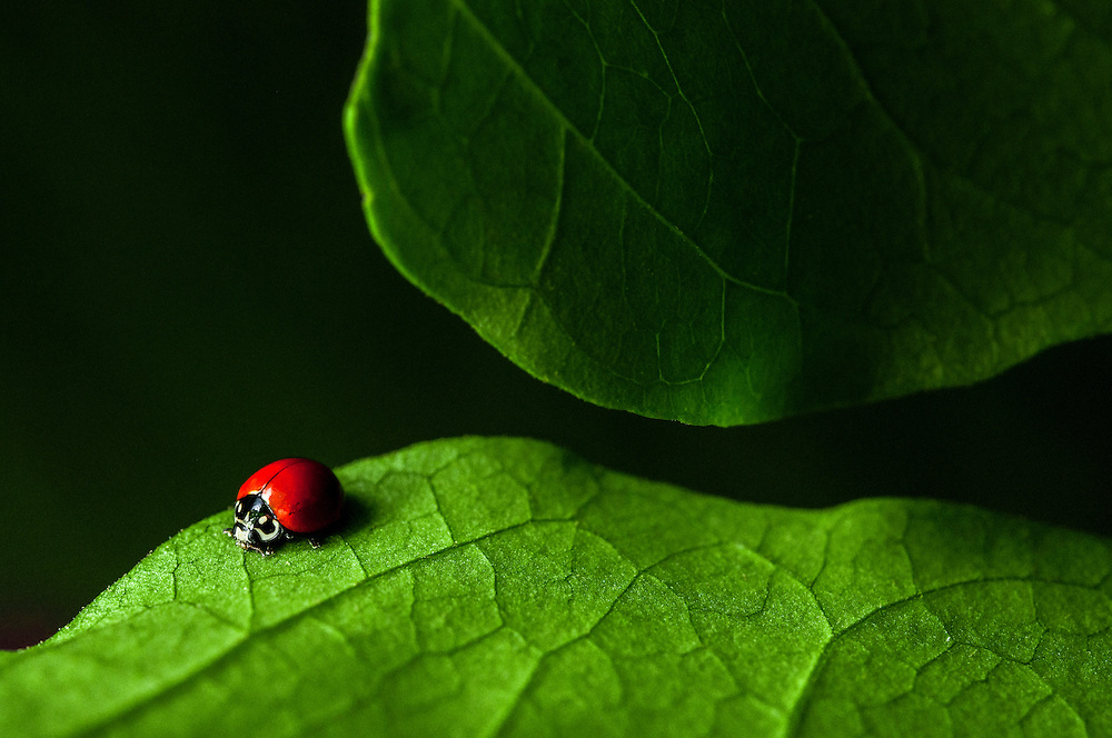 A lady beetle, Cycloneda sanguinea, on a leaf in the Caribbean.