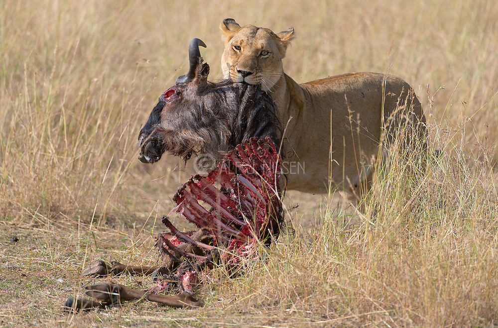 Lioness with the remains of a dead wildebeests.  Maasai Mara, Kenya.