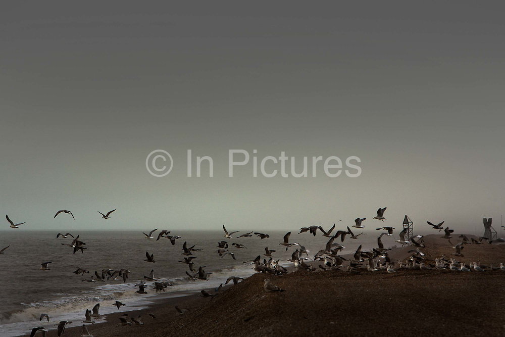 Seagulls flying over the rapidly changing seascape viewed from Dungeness beach on a January morning in Dungeness, United Kingdom. Dungeness is unique, with no boundaries, a desolate landscape with wooden houses, power stations, lighthouses and expansive gravel pits. Yet it possesses a rich and diverse wildlife.