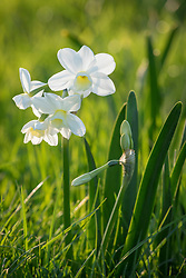 Narcissus 'Silver Chimes' planted in grass. Tazetta group