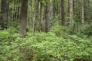 Western Hemlock Forest along Paradise River.