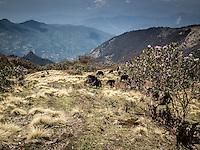 Yaks on the way from Bayli Kharka to Khopra Ridge, Nepal.