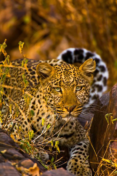 Leopard, Serengeti National Park, Tanzania